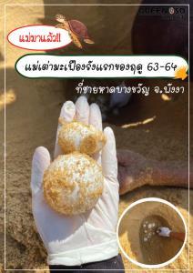 เริ่มแล้ว!! แม่เต่ามะเฟืองวางไข่รังแรกของฤดูกาล 63-64
