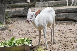 สวนสัตว์เปิดเขาเขียวก็มีนะ เก้งเผือก เพื่อนใหม่เจ้าหมูตุ๋น ฮิปโปแคระชื่อดัง