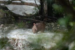 ภาพระทึก! หมาในแท็กทีม ล่า กวางป่าตกน้ำ บนเขาใหญ่