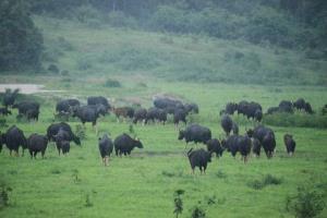 สุดตื่นตา! กระทิงกว่า 200 ตัว อวดโฉมหากินกลางทุ่งหญ้าป่ากุยบุรี