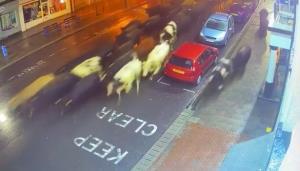 มาไง! วัวเกือบร้อยตัวบุกเมืองอังกฤษ ตำรวจต้องปิดถนนควบคุมสถานการณ์ (ชมคลิป)