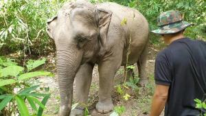 รอลุ้น! กลางเดือน พ.ย.นี้ ลูกช้างป่าห้วยขาแข้ง จะเลือกแม่รับตัวไหน! ที่ ขสป.ลำปาง