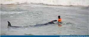 เกยตื้นครั้งล่าสุด!! ชมคลิปการข่วยชีวิตวาฬกว่า 100 ตัว ครั้งใหญ่สุดในศรีลังกา