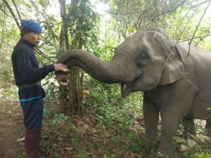 จนท.มูลนิธิคืนช้างสู่ธรรมชาติ เอาสมุนไพรป้อนแม่ทีน่ากระตุ้นน้ำนมแล้ว แม่รับตัวเต็งของพังน้อยทับเสลา