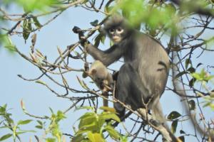 นักวิทยาศาสตร์พบค่างสายพันธุ์ใหม่ในพม่าแต่โชคร้ายใกล้สูญพันธุ์ เหลือไม่ถึง 300 ตัว