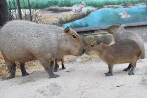 """สวนสัตว์เขาเขียว เปิดตัวน้องใหม่ """"ลูกคาปิบาร่า"""" หนูยักษ์ใหญ่ที่สุดในโลก"""