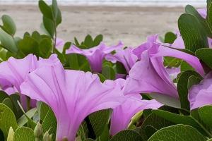 นักท่องเที่ยวแห่เซลฟี่กับทุ่งผักบุ้งทะเลกำลังออกดอกสะพรั่งที่หาดนพรัตน์ธารา
