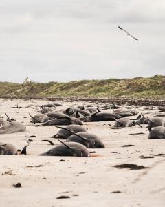เกิดอะไรขึ้น! วาฬเกยตื้นหมู่อีกแล้ว ตายเกือบ 100 ตัว บนชายฝั่งเกาะนิวซีแลนด์