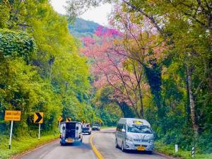 ทล.ชวนเยือนถนนสีชมพูรับไอหนาว ชมดอกซากุระบานที่ดอยอ่างขาง