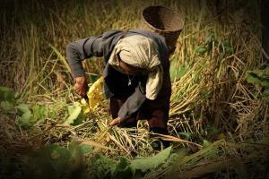 ชาวไทยเชื้อสายกะเหรี่ยงทุ่งใหญ่นเรศวร ลงแขกเกี่ยวข้าวเพื่อลดต้นทุนและความเสียหายจากอากาศที่แปรปรวน ทำให้มีฝนตก