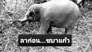 """ลาก่อน """"ชบาแก้ว"""" ลูกช้างป่าพลัดหลงขวัญใจโซเชียลฯ ล้มแล้ว คาดติดเชื้อเพราะอากาศเปลี่ยนจนเกิดความเครียด"""