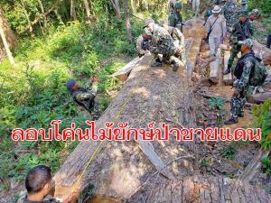 จนท.ไทยตะลึง! บุกตรวจยึดไม้ตะเคียนทองยักษ์ใหญ่ถูกตัดโค่นแปรรูป 13 ต้น กลางป่าชายแดนศรีสะเกษ