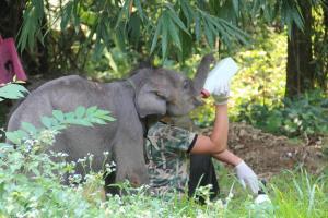 """ยิ่งดูยิ่งคิดถึง """"10 โมเมนต์น่ารักของชบาแก้ว"""" ช้างป่าซุปตาร์ตัวน้อยผู้ลาลับ"""