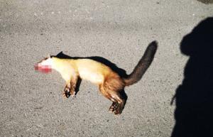"""เร่งล่า! นักท่องเที่ยวตีนผี ขับรถซิ่งทับ """"หมาไม้"""" สัตว์ป่าคุ้มครอง กะโหลกยุบ ตายคาที่"""