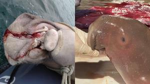 สะเทือนใจ! พบแม่พะยูนตรังตายพร้อมลูกในท้อง ซ้ำเจอบาดแผลคล้ายถูกตัดเขี้ยว