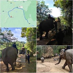 งานช้างจริง การขนเคลื่อนย้ายช้างขึ้นรถ