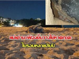 ข่าวดีรับวันปีใหม่! แม่เต่ามะเฟืองขึ้นวางไข่หน้าหาดกะตะ จ.ภูเก็ต เป็นครั้งแรกในรอหลายสิบปี