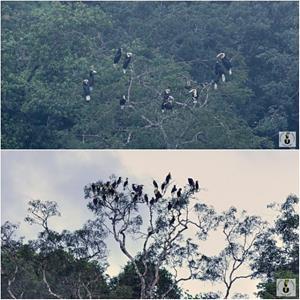 พฤศจิกายน-ธันวาคม นกเงือกพากันมารวมฝูงใหญ่ เสมือนว่าเข้าชุมชนมาเพื่อเจรจา บอกเรื่องราวต่างๆ
