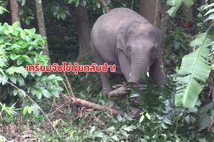 """เตรียมจับช้าง """"ไข่นุ้ย"""" ย้ายออกนอกพื้นที่ หลังมาอาศัยอยู่ในสวนของชาวบ้านไม่ยอมกลับป่า"""