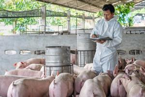 ASF-โควิด ทุกข์เกษตรกรเลี้ยงหมู หวังผู้บริโภคเข้าใจ