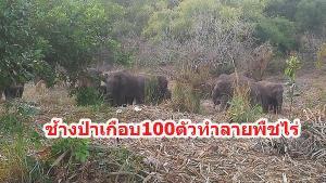 วอนผู้ว่าฯ กาญจน์ประสานหน่วยงานรัฐช่วยเยียวยา หลังถูกช้างป่า 100 ตัวทำลายพืชไร่เสียหาย