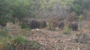 เปิดระเบียบการเยียวยาราษฎร หากเจ็บ-เสียชีวิตเพราะช้างป่า