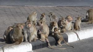 ลิงยังหนาว! ลิงลพบุรีออกมาอาบแดด กอดเกาะกลุ่มกันเพื่อรับไออุ่นหน้าพระปรางค์สามยอด