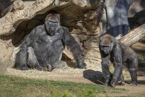 "In Clip : สุดอึ้ง! ครั้งแรกในโลก ""ลิงกอริลลา"" ติดโควิด-19 ในสวนสัตว์ซานดิเอโก"