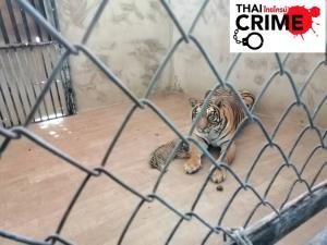ปทส.บุกยึดเสือโคร่ง 2 ตัว จากสวนสัตว์หัวหินตรวจดีเอ็นเอ