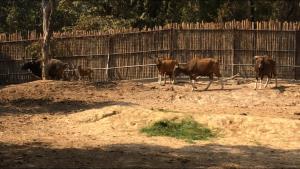 """เชียงใหม่ไนท์ซาฟารีประกาศผลประกวดตั้งชื่อ """"เดือนยี่"""" ให้ลูกวัวแดง สัตว์ป่าหายากสมาชิกเกิดใหม่"""