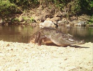 ภาพจระเข้น้ำจืดสายพันธุ์ไทยดั้งเดิมตัวใหม่ที่พบที่ป่าแก่งกระจาน (ภาพ : เฟซบุ๊ก มานะ เพิ่มพูล)