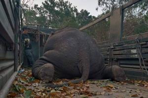 """สุดสลดวงการรักษ์ช้าง """"คำสั่งลับ"""" แก้ปัญหาชุ่ย!? ยิงยาสลบ """"พลายยันหว่าง"""" เกินขนาดถึงกับล้ม"""