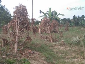 เกษตรกรใต้โอดทุเรียนยืนต้นตายเพียบ เสียหายหนักจากอุทกภัย เรียกร้องเยียวยาเหมาะสม