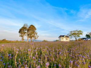 """วิ่งเล่นในดงดอกไม้ """"ทุ่งลาเวนเดอร์"""" แห่ง """"วังน้ำเขียว"""" ใหญ่ที่สุดในไทย"""