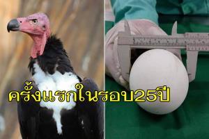 """สวนสัตว์โคราชเฮลั่น! """"แม่นุ้ย"""" พญาแร้ง วางไข่สำเร็จ 1 ฟอง เป็นครั้งแรกในรอบ 25 ปีของไทย"""