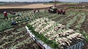 เกษตรกรปลูกหัวไชเท้ายิ้ม! หลังเป็นที่ต้องการของตลาดช่วงใกล้ตรุษจีน