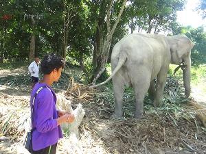 ช้างกว่า 60 เชือก! เจอพิษโควิด-19 ทำตกงานต้องย้ายกลับบ้าน ซ้ำขาดแคลนอาหาร-น้ำช่วงหน้าแล้ง