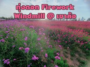 """ชมพูหวานอลังการ """"ทุ่งดอก Firework"""" ที่ The windmill @ เขาค้อ"""