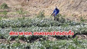 พิษโควิด-19 กระทบทุกหย่อมหญ้า ราคาผักตกต่ำ เกษตรกรราชบุรีจำใจทิ้งคะน้าไป 26 ไร่