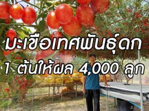 ทำได้ไง? คณะเกษตรศาสตร์ ม.อุบลฯ ปลูกมะเขือ 1 ต้นให้ผลกว่า 4,000 ลูก