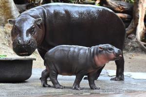 ลูกฮิปโปโปเตมัสแคระ  สมาชิกใหม่แห่งสวนสัตว์เปิดเขาเขียว (ภาพ เพจ : สวนสัตว์เปิดเขาเขียว Khao Kheow Open Zoo)