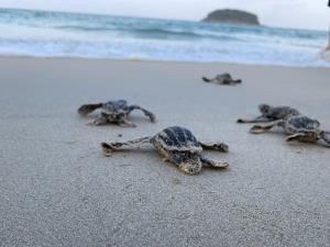 ลงสู่ทะเลแล้ว! ลูกเต่ามะเฟืองฟักจากหลุมหาดกะตะ จ.ภูเก็ต 34 ตัว ในรอบ 20 ปี