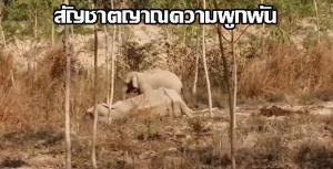 เปิดภาพช้างน้อยเฝ้าแม่ช้างล้มป่วยกลางสวนยางไม่ห่าง จนถูกแดดเผาหนัก จนท.เร่งฉีดน้ำช่วย