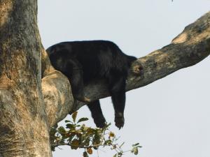 """น่ารัก! """"อช.ตาดหมอก"""" เผยภาพหมีนอนหลับบนต้นไม้ในท่าสุดเหนือชั้น"""