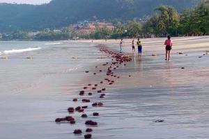 เผยสาเหตุเม่นทะเลเกยตื้นหาดป่าตองคาดถูกคลื่นซัดเข้ามา