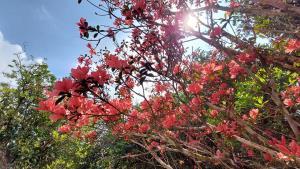 ดอกกุหลาบพันปีสีแดง ถ่ายภาพ ณ วันที่ 4 มีนาคม 2564 (ภาพจาก เพจททท.สำนักงานเลย)