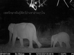 กล้องดักถ่ายยืนยัน! ช้างป่าพวา แม่-ลูก (เจ้ามะเดื่อ) ปลอดภัยดี