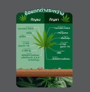 """""""กัญชง"""" พืชเศรษฐกิจตัวใหม่ สร้างมูลค่าเพิ่มอาหารไทยสู่ครัวโลก"""