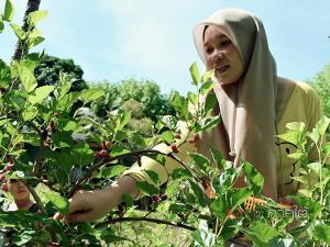 ชาวสวนยางพาราเปิดสวนมัลเบอร์รี่ จุดเช็กอินชิม ชอปแหล่งท่องเที่ยวใหม่กิ๊กใน จ.สตูล