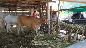 ปศุสัตว์ตาพระยาประกาศพื้นที่ระบาดชั่วคราวโรคพิษสุนัขบ้า หลังพบวัวเนื้อชาวบ้านติดเชื้อไม่รู้ที่มา